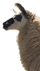 Lamas sind in den Anden beheimatet und sind wichtige Nutztiere. Foto: PromPeru
