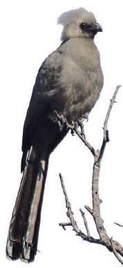 Der Graue Lärmvogel ist häufig am Ufer des Kwando zu entdecken.