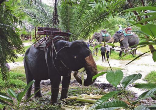 Elefantentrekking macht Spaß und die Dickhäuter freuen sich zur Belohnung über eine Mittagspause.