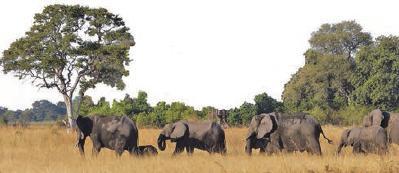 Caprivi ist Elefantenland: Große Elefantenherden sind dort zu sehen.