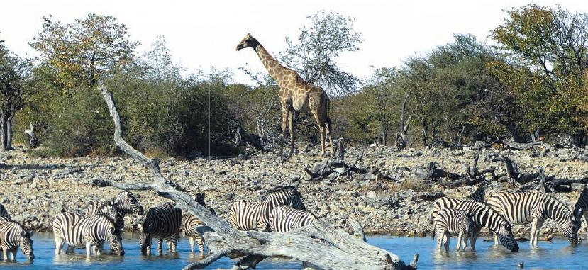 An den Wasserlöchern in Etosha zeigen sich fast alle Tiere des Nationalparks.